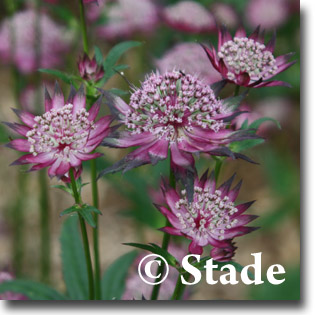 stauden stade versand shop astrantia major 39 claret. Black Bedroom Furniture Sets. Home Design Ideas