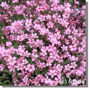 stauden stade versand shop gypsophila repens 39 rosea compacta 39 kriechendes garten schleierkraut. Black Bedroom Furniture Sets. Home Design Ideas