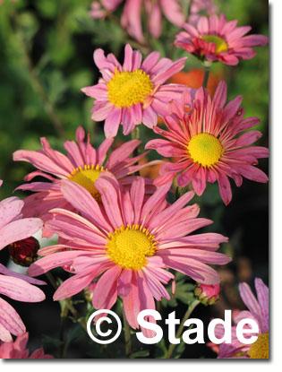 stauden stade versand shop chrysanthemum hortorum 39 steinbacher auslese 39 garten chrysantheme. Black Bedroom Furniture Sets. Home Design Ideas
