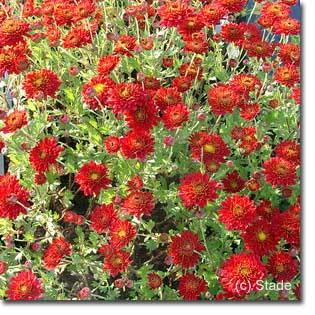 stauden stade versand shop chrysanthemum hortorum 39 sassan 39 garten chrysantheme garten winter. Black Bedroom Furniture Sets. Home Design Ideas