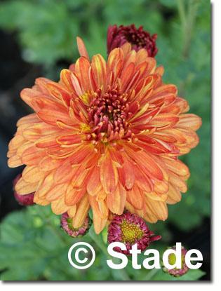 stauden stade versand shop chrysanthemum hortorum 39 bronzeteppich 39 garten chrysantheme garten. Black Bedroom Furniture Sets. Home Design Ideas