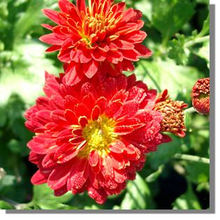 stauden stade versand shop chrysanthemum hortorum 39 rumpelstielzchen 39 garten chrysantheme. Black Bedroom Furniture Sets. Home Design Ideas