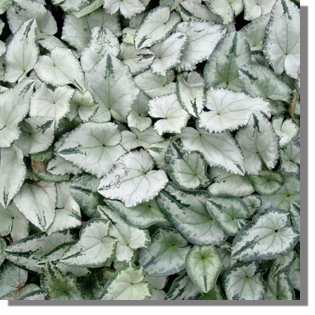 Cyclamen hederifolium 'Silver Cloud White'