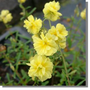 stauden stade versand shop helianthemum cultorum 39 gelbe. Black Bedroom Furniture Sets. Home Design Ideas