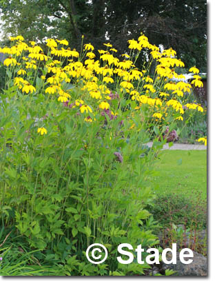stauden stade versand shop rudbeckia nitida 39 herbstsonne. Black Bedroom Furniture Sets. Home Design Ideas