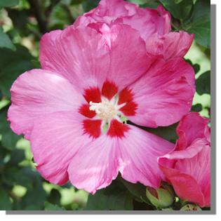 stauden stade versand shop hibiscus syriacus hybriden. Black Bedroom Furniture Sets. Home Design Ideas