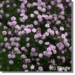stauden stade versand shop gypsophila repens 39 pink star 39 kriechendes garten schleierkraut. Black Bedroom Furniture Sets. Home Design Ideas