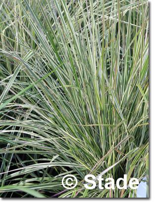 stauden stade versand shop calamagrostis x acutiflora 39 overdam 39 gestreiftbl ttriges garten. Black Bedroom Furniture Sets. Home Design Ideas