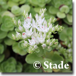 stauden stade versand shop sedum spurium 39 album superbum. Black Bedroom Furniture Sets. Home Design Ideas