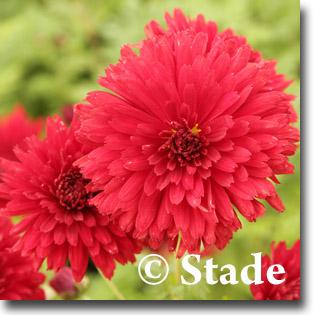 stauden stade versand shop chrysanthemum hortorum 39 red velvet 39 garten chrysantheme garten. Black Bedroom Furniture Sets. Home Design Ideas