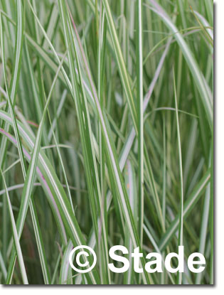 stauden stade versand shop calamagrostis x acutiflora 39 avalanche 39 garten reitgras sandrohr. Black Bedroom Furniture Sets. Home Design Ideas