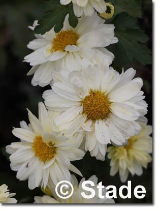 stauden stade versand shop chrysanthemum hortorum 39 poesie 39 garten chrysantheme garten winter. Black Bedroom Furniture Sets. Home Design Ideas