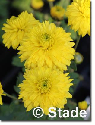stauden stade versand shop chrysanthemum hortorum 39 citronella 39 garten chrysantheme garten. Black Bedroom Furniture Sets. Home Design Ideas