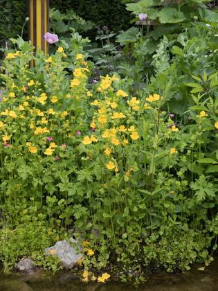 stauden stade versand shop mimulus luteus 39 39 gelbe gauklerblume hier bestellen. Black Bedroom Furniture Sets. Home Design Ideas