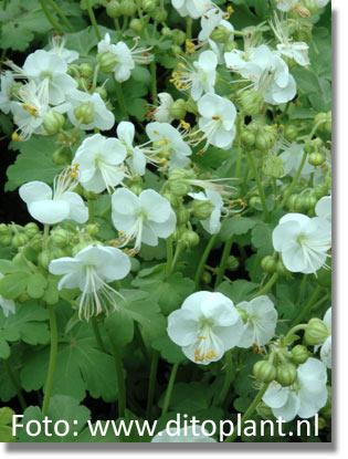 stauden stade versand shop geranium macrorrhizum 39 white ness 39 felsen storchschnabel garten. Black Bedroom Furniture Sets. Home Design Ideas