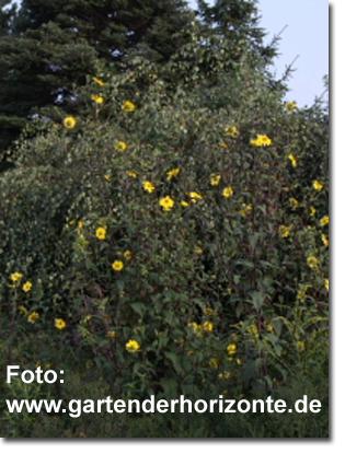 stauden stade versand shop helianthus microcephalus 39 39 kleink pfige sonnenblume hier bestellen. Black Bedroom Furniture Sets. Home Design Ideas