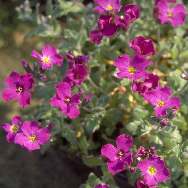 Aubrieta cultorum 'Bressingham Red' (Blaukissen)