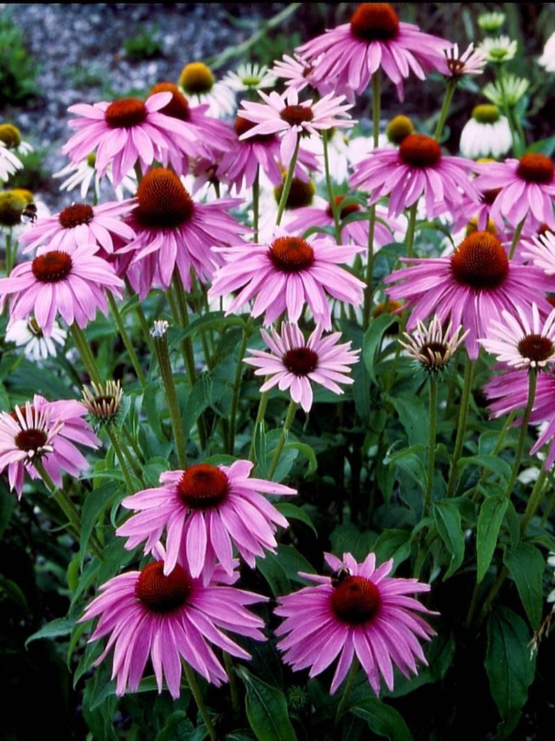 stauden stade versand shop echinacea purpurea 39 magnus. Black Bedroom Furniture Sets. Home Design Ideas