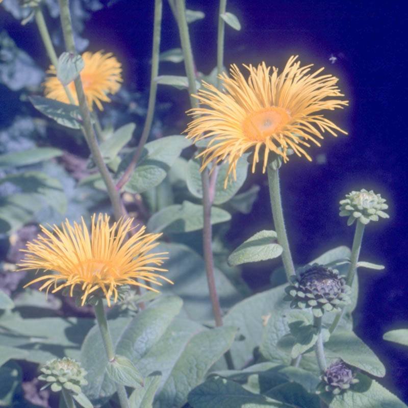 Inula magnifica (Afghanistan-Alant, Riesen-Alant)