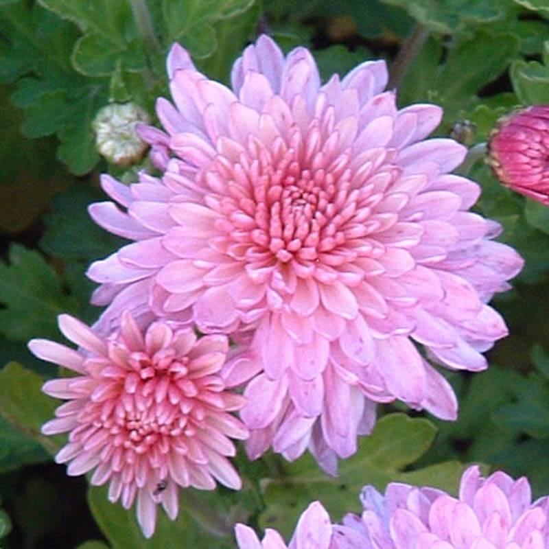 stauden stade versand shop chrysanthemum hortorum 39 nebelrose 39 chrysantheme winter aster hier. Black Bedroom Furniture Sets. Home Design Ideas