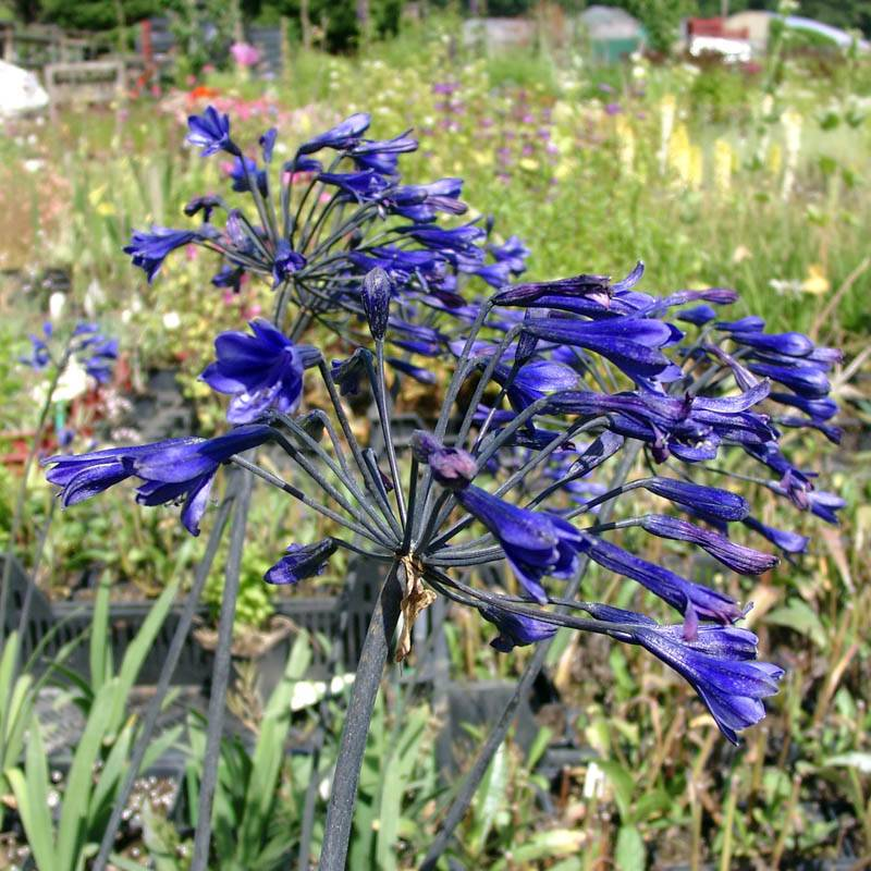 Agapanthus africanus 'Back in Black' (Schmucklilie)