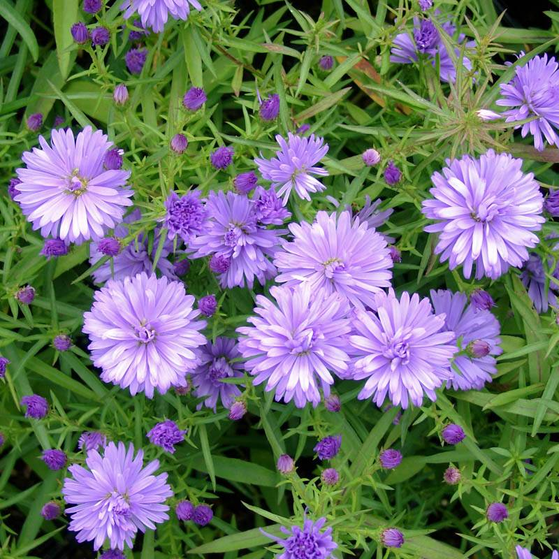 Aster dumosus 'Lady in Blue' (Kissen-Aster)