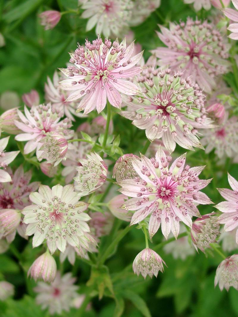 Astrantia major 'Buckland' (Sterndolde)