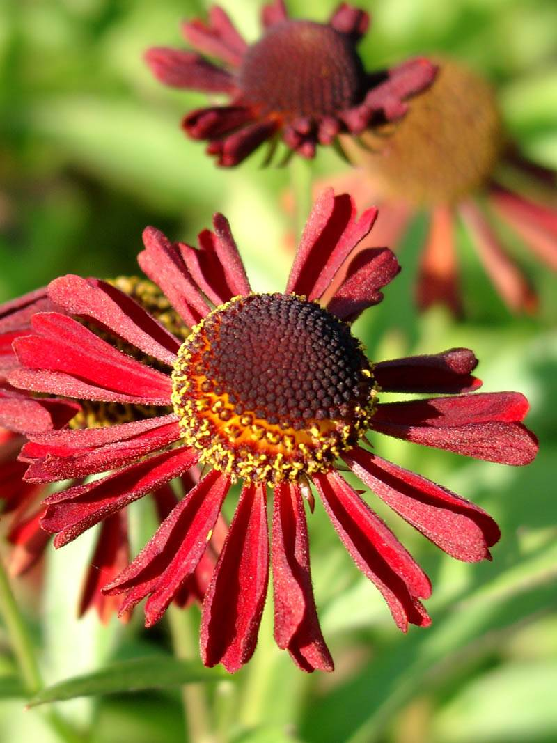 Helenium cultorum 'Ruby Tuesday ®' (Sonnenbraut)