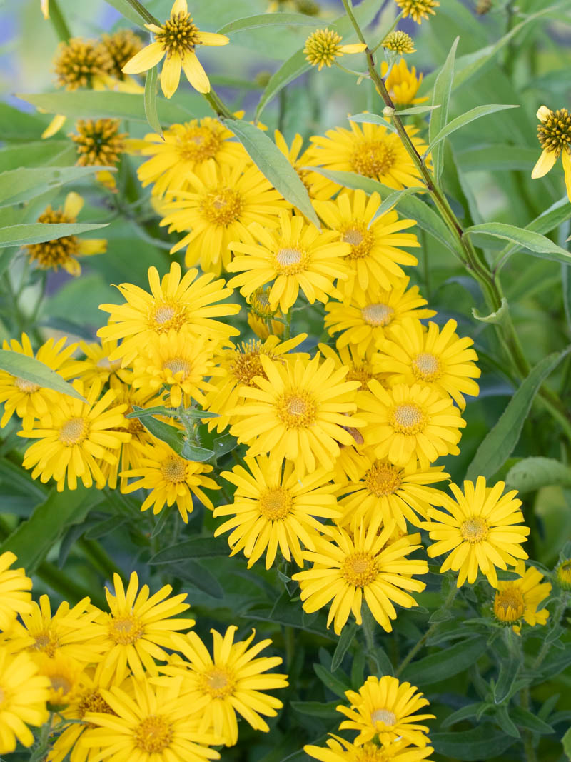 Chrysopsis speciosa (villosa) 'Golden Sunshine' (Gold-Aster, Gold-Auge)