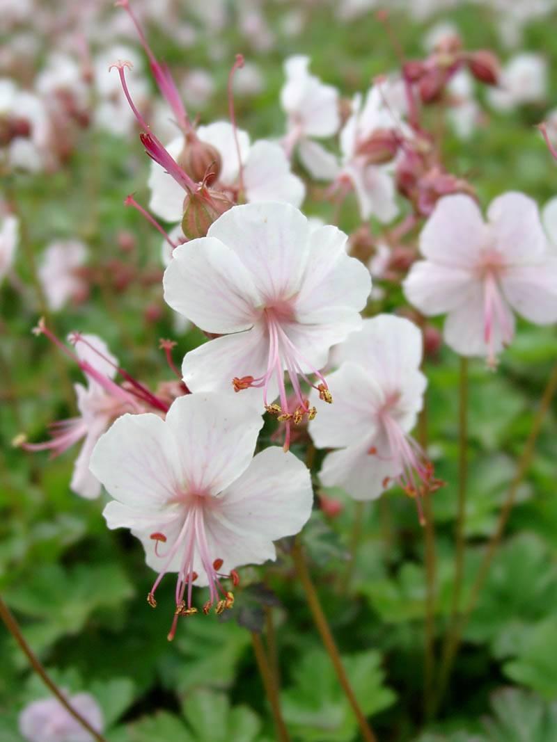 Storchenschnabel Saint Ola-Geranium Cantabrigiense