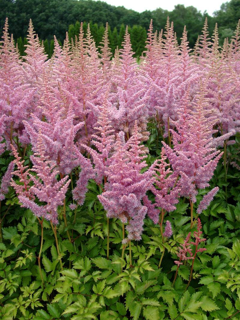 Astilbe chinensis 'Heart and Soul ®' (Lanzenspiere)