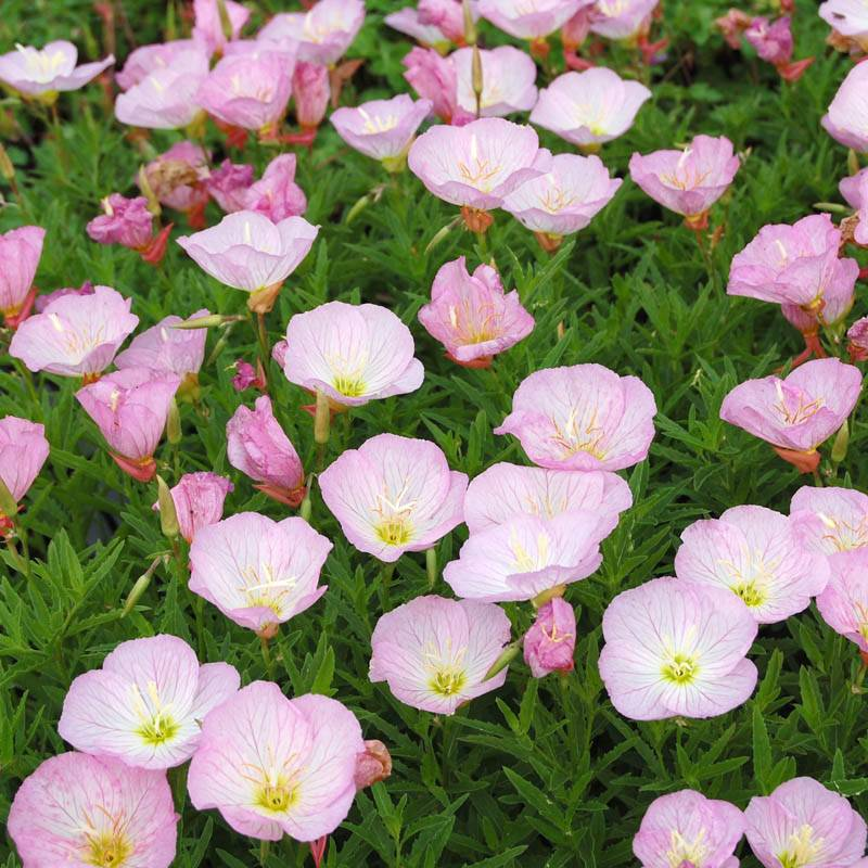 stauden stade versand shop oenothera speciosa 39 siskiyou 39 rosa nachtkerze hier bestellen. Black Bedroom Furniture Sets. Home Design Ideas