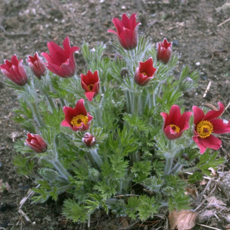 Küchenschelle Blume ~ stauden stade versand shop pulsatilla vulgaris'rubra' (kuhschelle, küchenschelle) hier bestellen