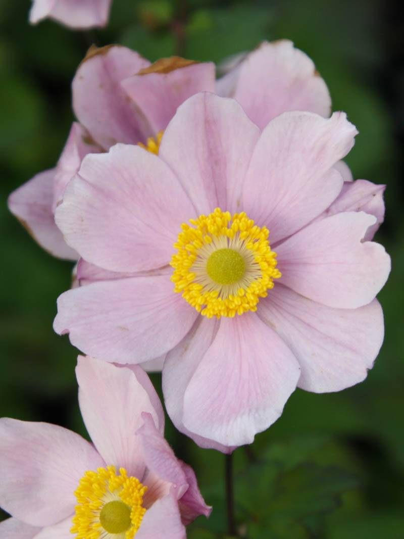 Anemone hupehensis 'Septembercharme' (Herbst-Anemone)