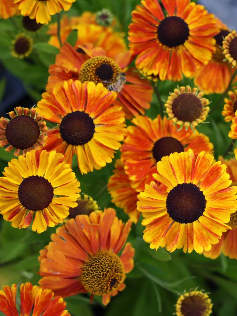 Helenium cultorum 'Sahins Early Flowerer ®' (Sonnenbraut)