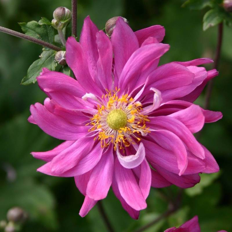 Anemone japonica 'Bressingham Glow' (Herbst-Anemone)