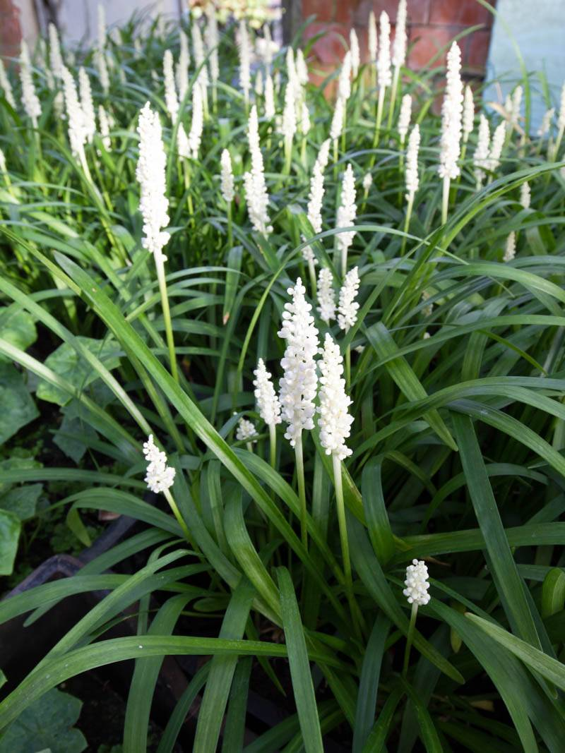 how to grow liriope muscari