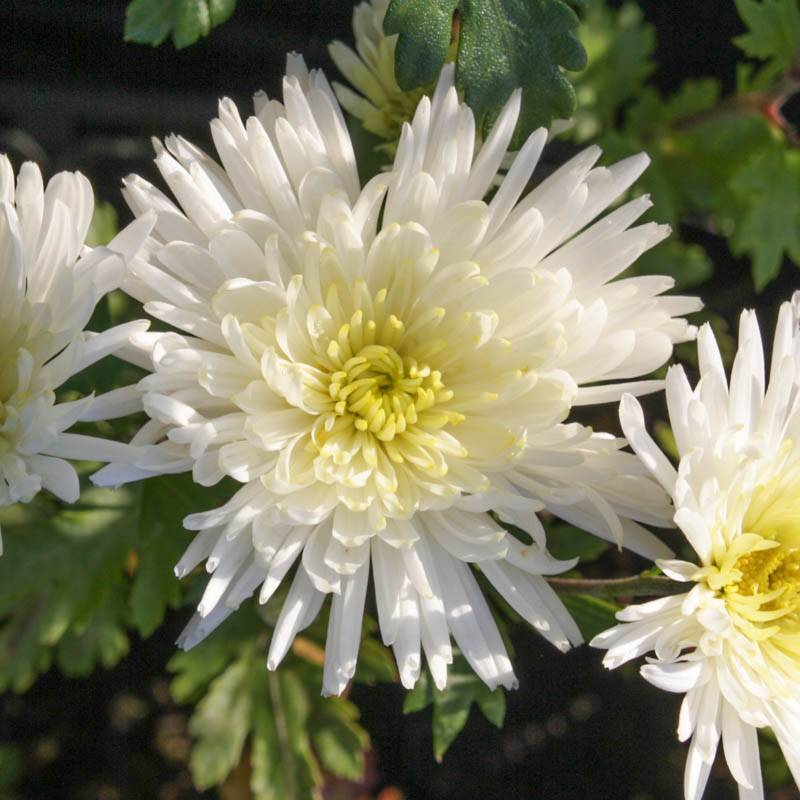 stauden stade versand shop chrysanthemum hortorum 39 havelschwan 39 chrysantheme winter aster. Black Bedroom Furniture Sets. Home Design Ideas
