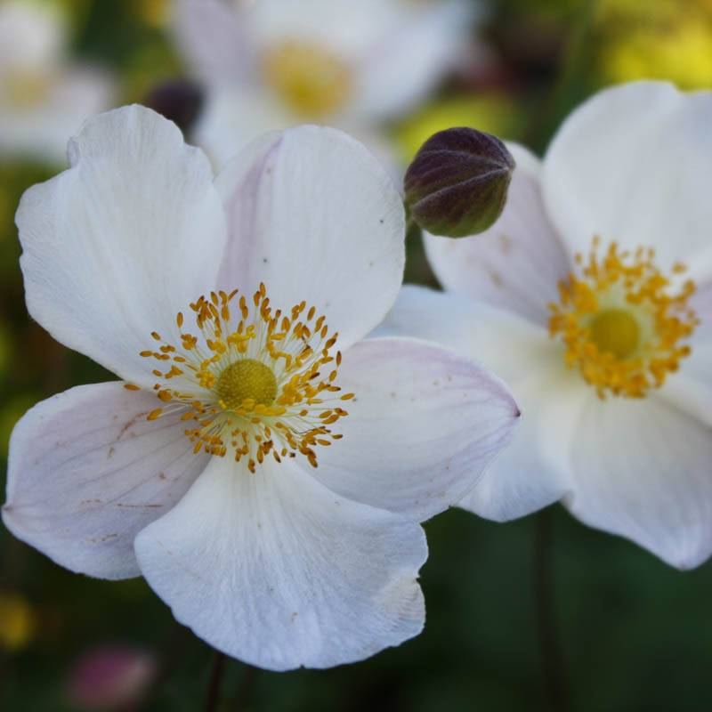 Anemone hupehensis forma alba (Herbst-Anemone)