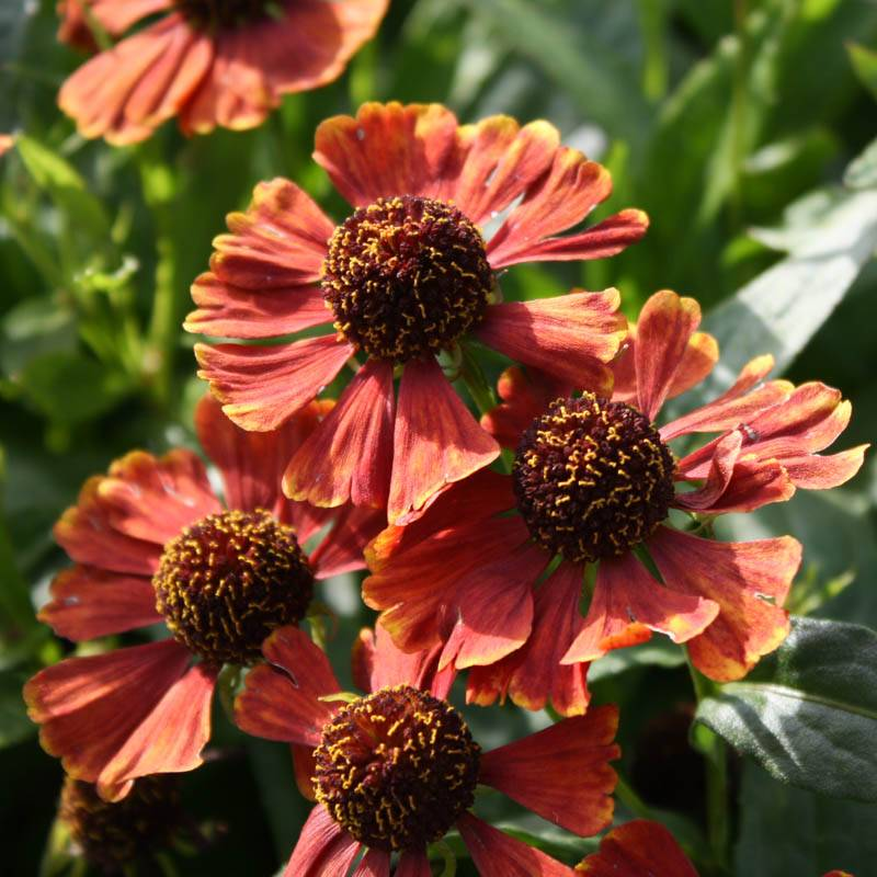 Helenium cultorum 'Red Jewel' (Sonnenbraut)