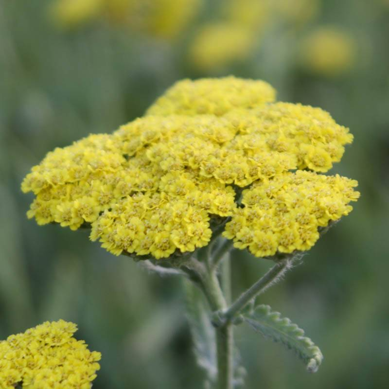 Achillea clypeolata 'Moonshine' (Goldquirl-Garbe)