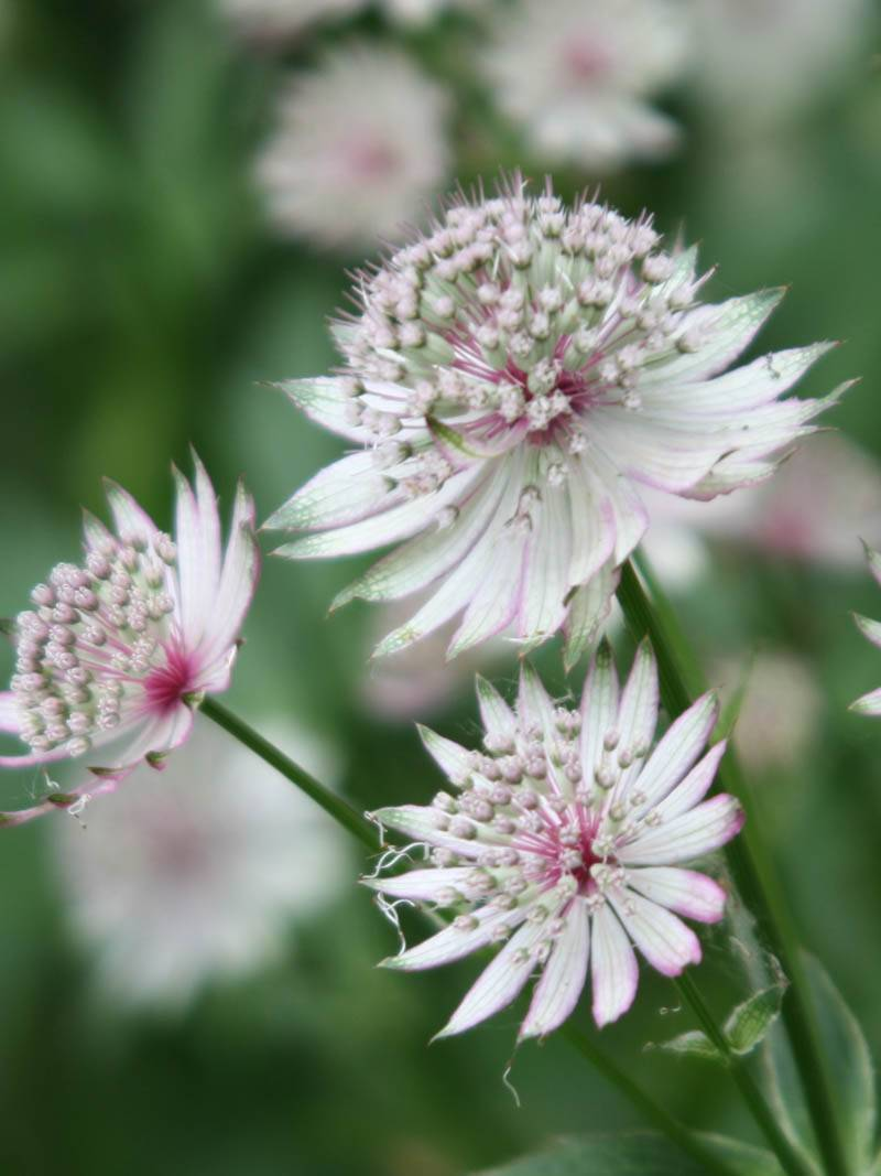 Astrantia major (Sterndolde)