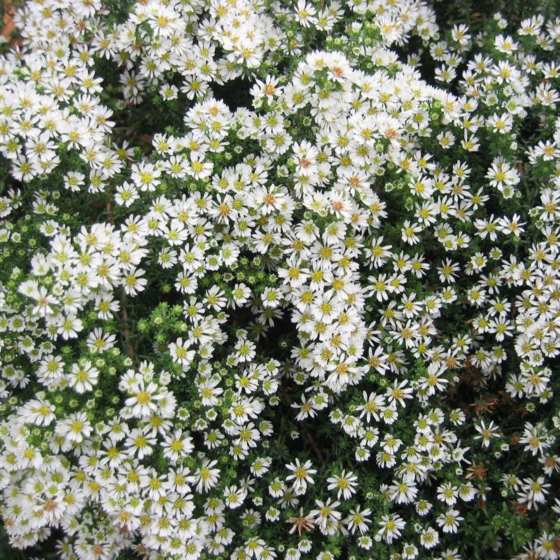 Aster pansus 'Snowflurry' (Teppich-Aster)