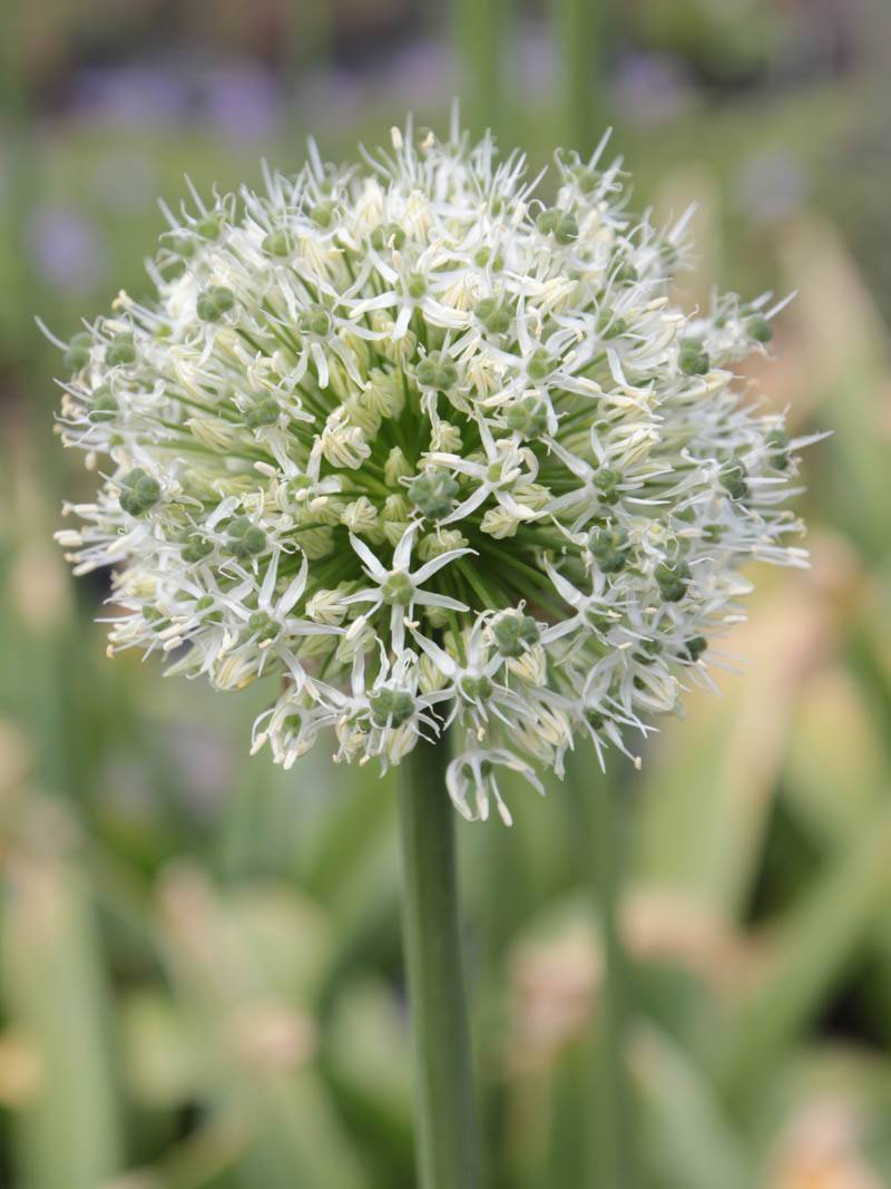 Allium stipitatum 'Mount Everest (1 Stk. lose)' (Blumenlauch)