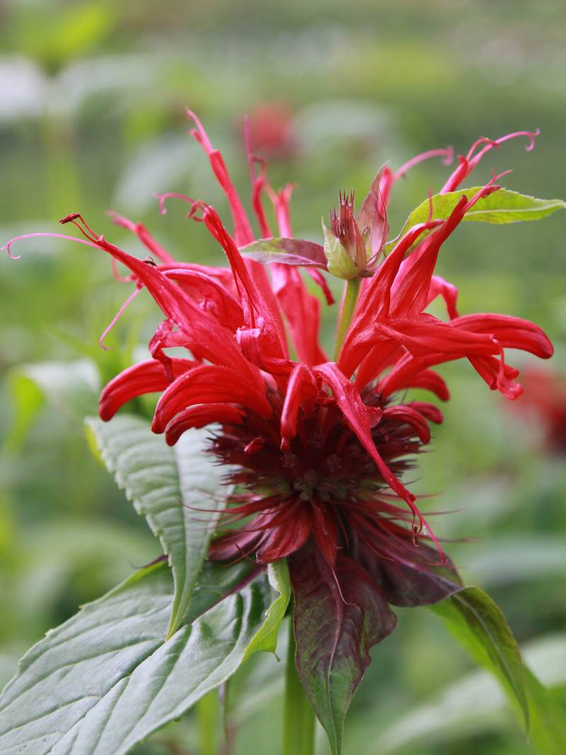 Monarda fistulosa 'Jacob Cline' (Indianernessel)