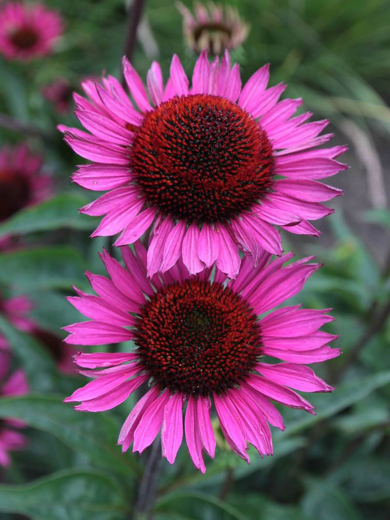 stauden stade versand shop echinacea purpurea 39 fatal. Black Bedroom Furniture Sets. Home Design Ideas