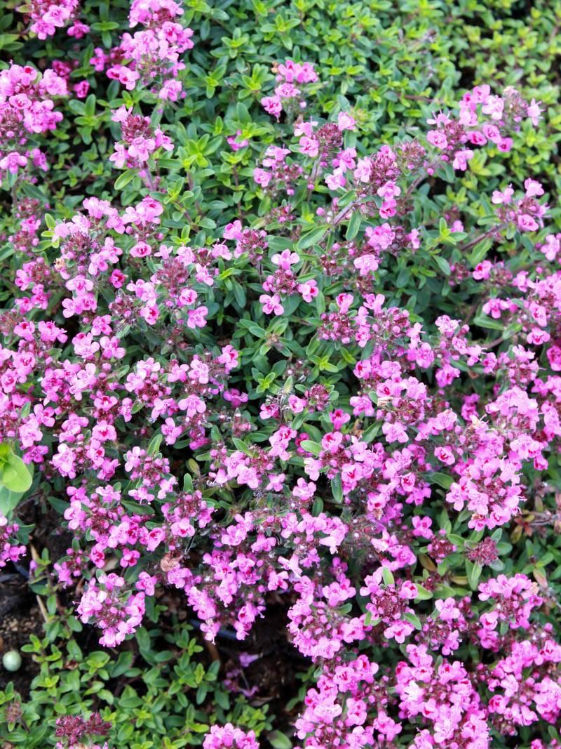 Thymus praecox  Atropurpurea Polsterthymian