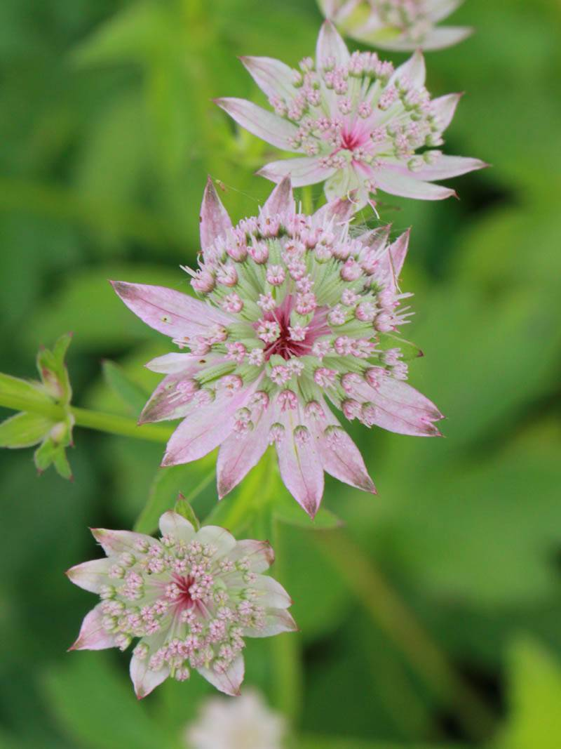 Astrantia major 'Florence ®' (Sterndolde)