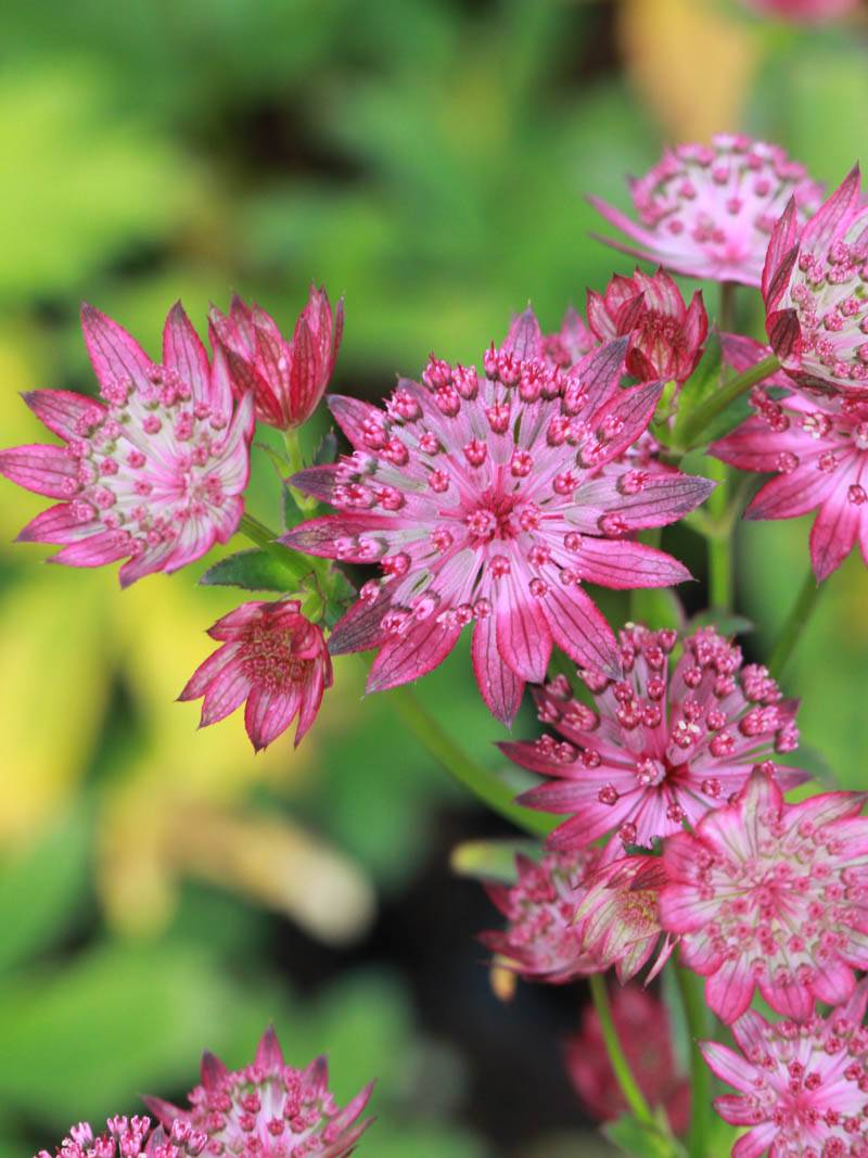 Astrantia major 'Venice' (Sterndolde)