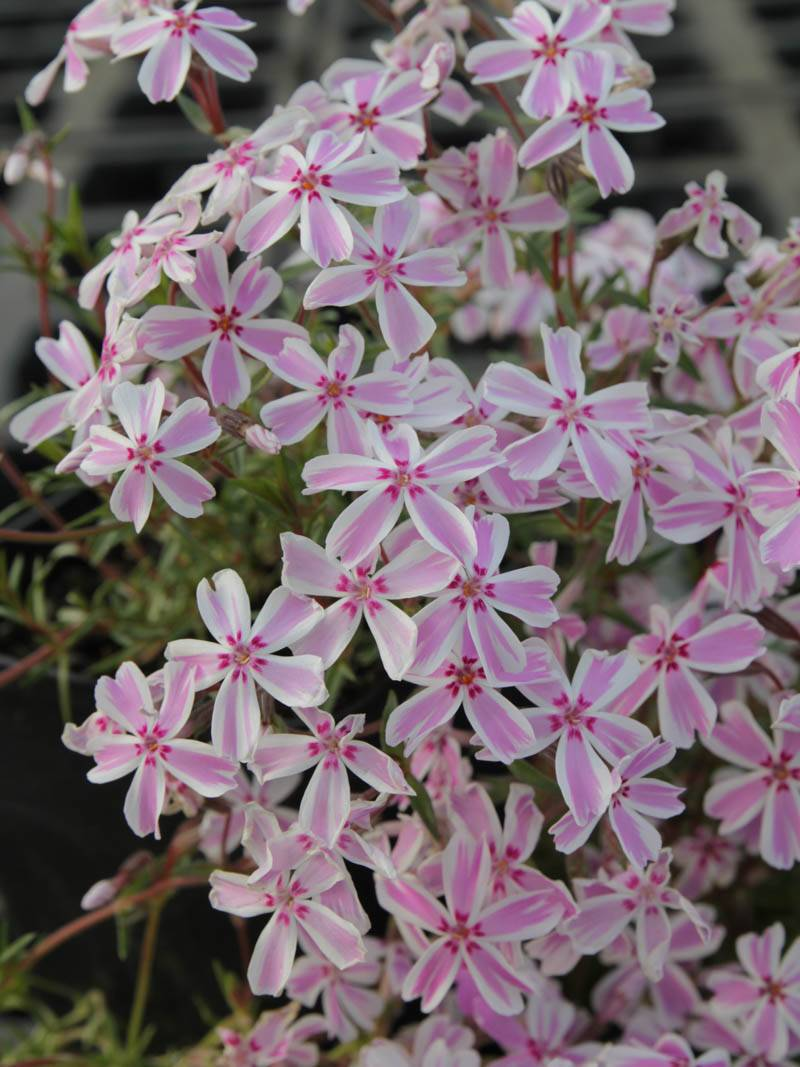 Stauden Stade Versand Shop Phlox subulata Candy Stripes